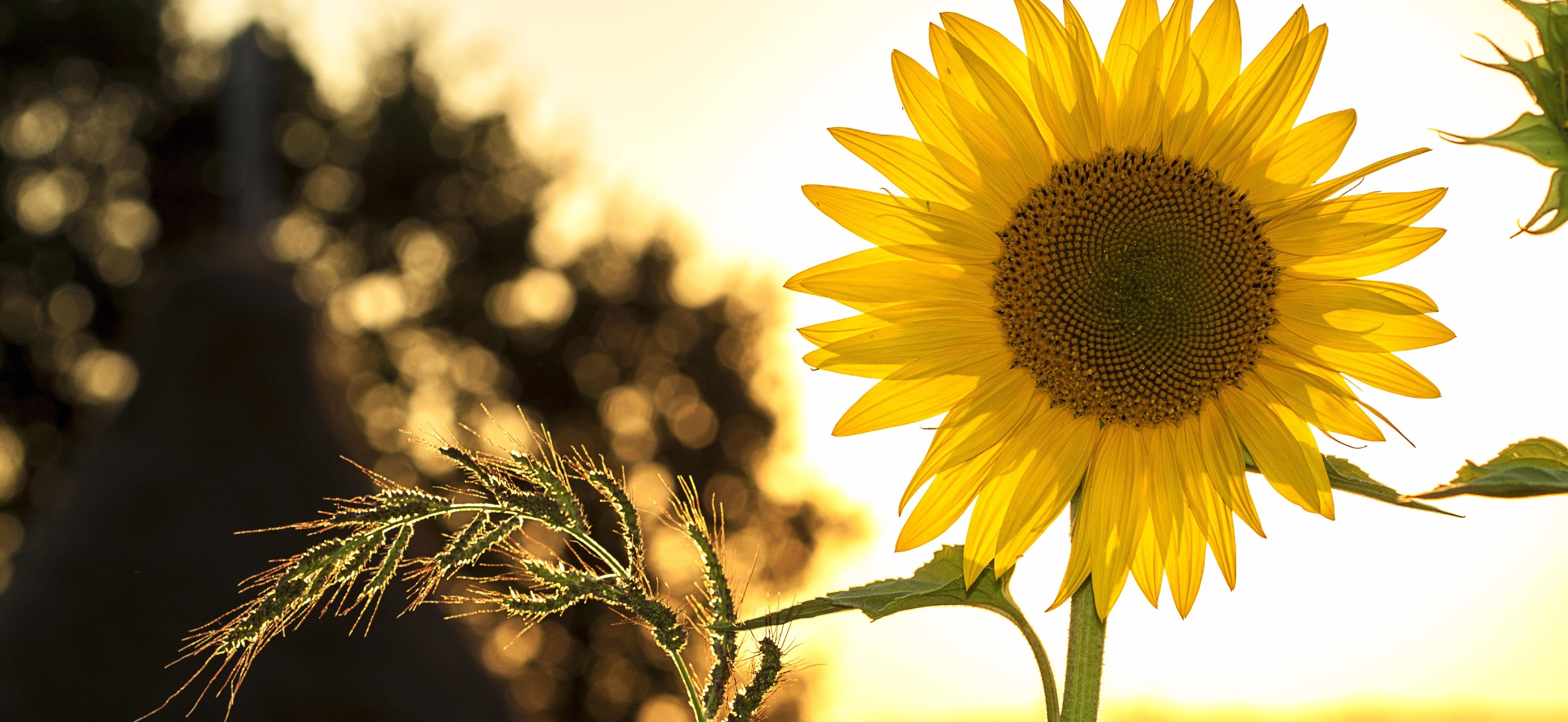 sunflower-sun-summer-yellow-slim